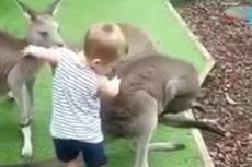 新西兰2岁儿童遭动物园袋鼠袭击