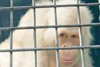 白化猩猩搬人造岛免猎杀