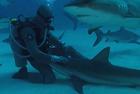 潜水员不惧危险亲抚鲨鱼