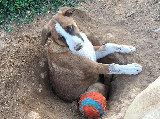 蠢萌!美狗狗自己挖坑出不来楚楚可怜惹人笑