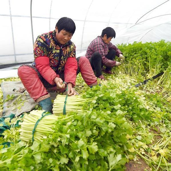 江苏宿迁:高效设施农业铺就致富路