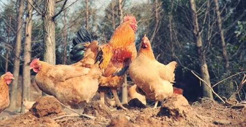 丁磊王兴养鸡后的下一步是?上网易考拉就清晰了