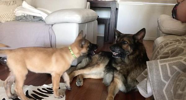 澳小狗不停吠叫吸引大狗注意致其抓狂怒吼
