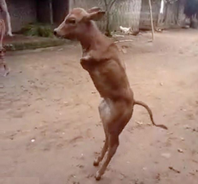 可怜!印尼无前腿小牛靠后腿直立行走踉踉跄跄