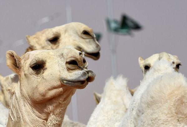 沙特骆驼选美奖金逾3.6亿 12只选手整容被退赛