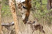 迷糊黑斑羚宝宝与妈妈走散 寻寻觅觅终团圆