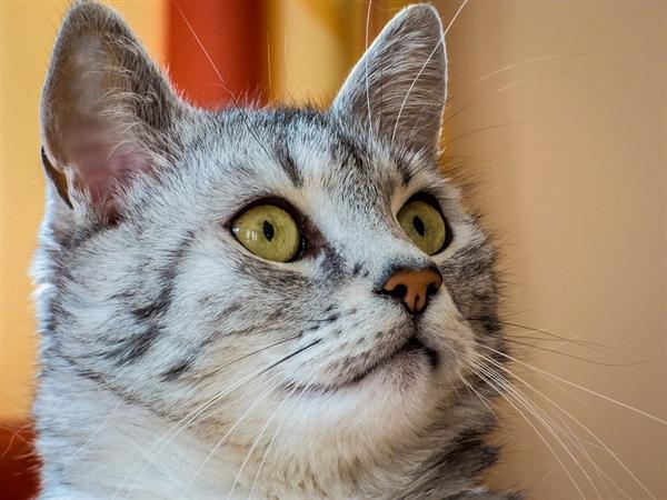研究发现:母猫喜欢用右爪 而公猫是左撇子