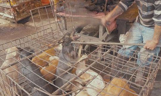 惨无人道!印尼狗肉市场残忍虐杀令人震惊
