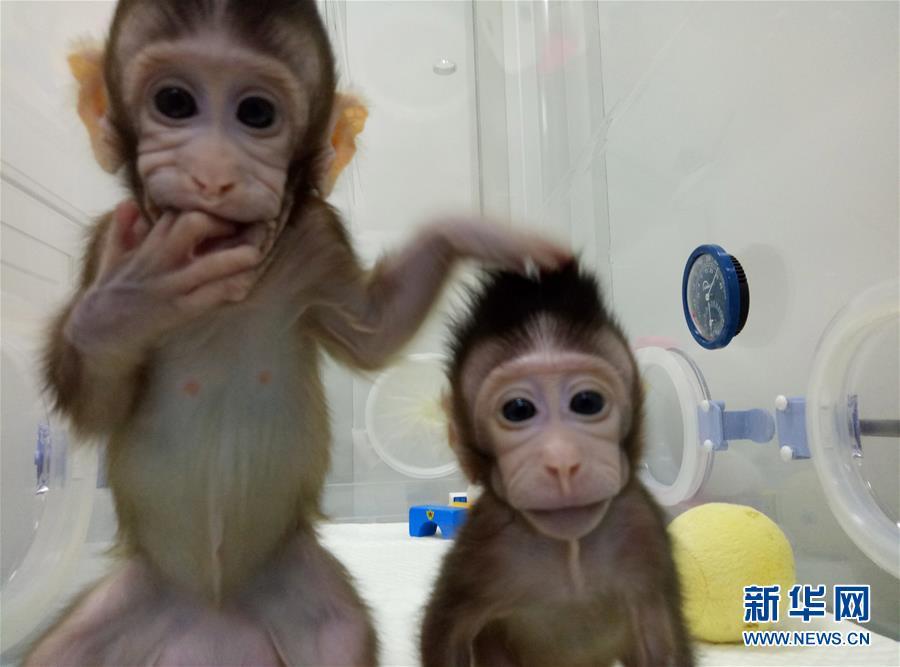 世界生命科学重大突破:两只克隆猴在中国诞生
