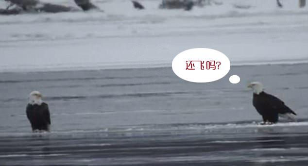 """""""佛系""""鹰?白头海鹰浮冰上闲适小憩顺水漂流"""