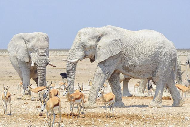 纳米比亚大象防晒有绝招!泥水护身犹如雕像