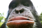 英节目揭示猩猩爱自拍