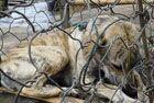 印尼狗肉市场残忍虐杀