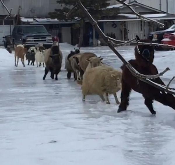加拿大羊群排队过结冰马路歪歪扭扭蠢萌无限