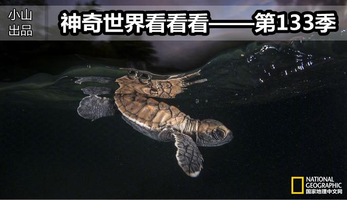 在巴布亚新几内亚,一只年轻的玳瑁在破壳而出几分钟之后潜入了海浪中。