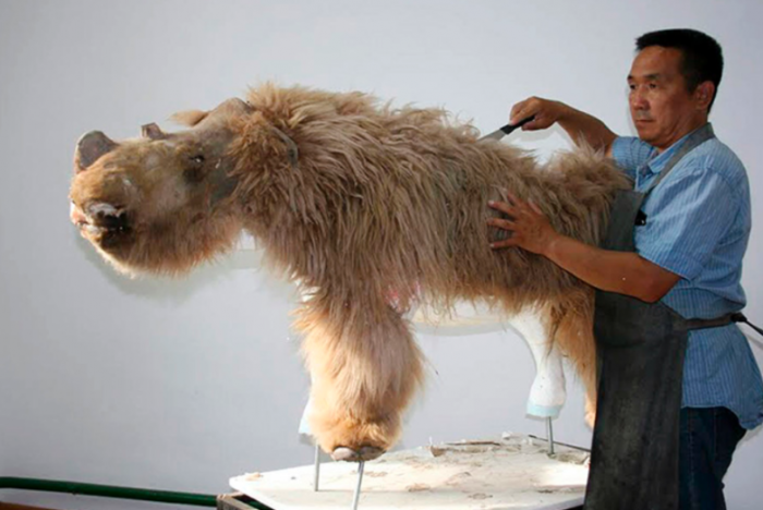 科学家们重建3万年前披毛犀的大部分身体