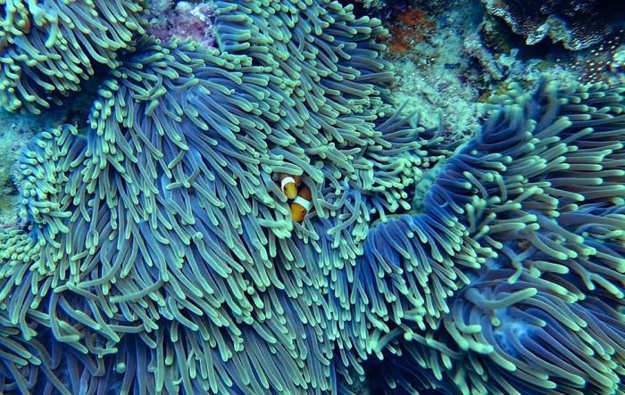 研究显示海洋塑料垃圾正在让珊瑚礁变得极易生病