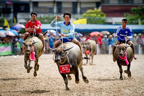 泰国佛丕府将举办牛车竞赛 竞争公主奖杯