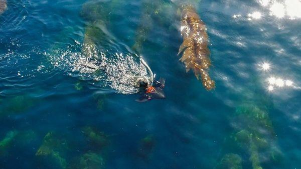 """你可能看过潜水员附着在""""魔鬼鱼""""背部""""兜风""""的镜头。"""