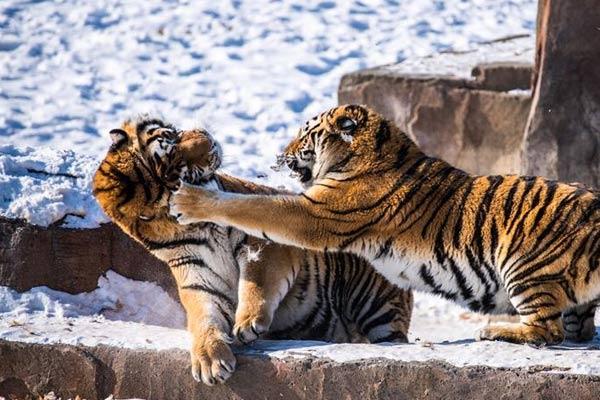 哈尔滨:东北虎进行野化训练