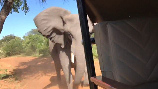 博茨瓦纳野象暴怒猛烈撞击游览车致象牙折断