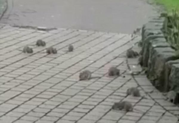 """惊人!英女子市中心散步遇30只老鼠""""横行""""马路"""