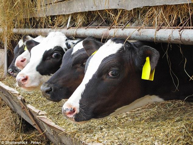 """盖茨资助研究""""超级奶牛"""":产奶量可增3倍"""