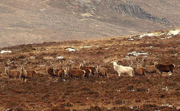 圣洁!苏格兰高地现罕见白鹿 或为白化病所致