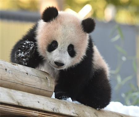 日媒:旅日熊猫宝宝香香首次玩雪 撒欢玩耍萌态可掬