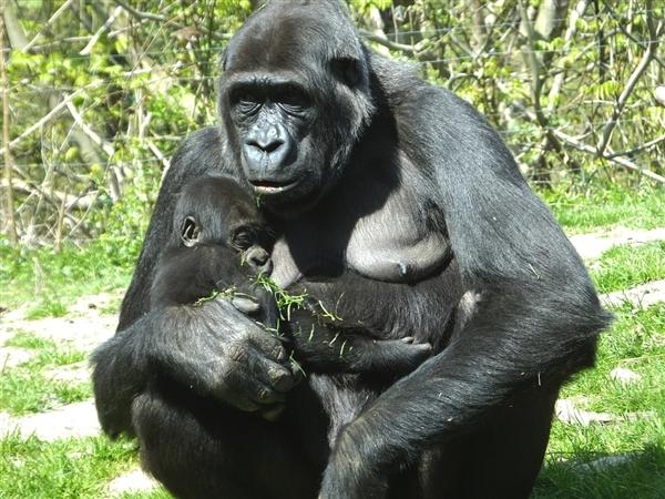"""世界最年长大猩猩逝世 """"猩龄""""达60岁"""