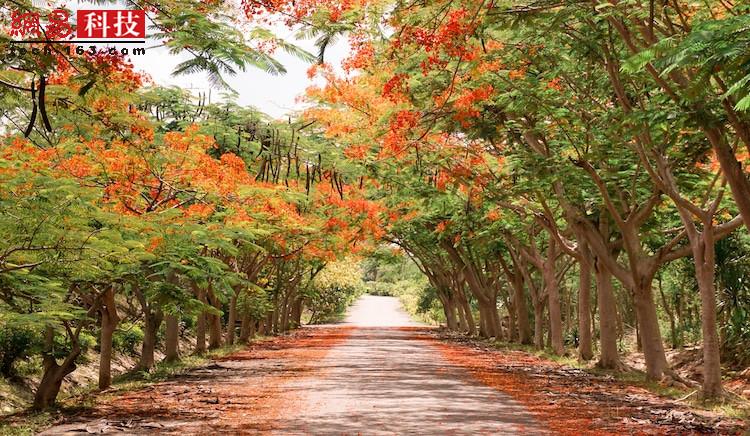 乡村道路两侧的树也形成了天然拱门,橙色的花密密地落在地上。