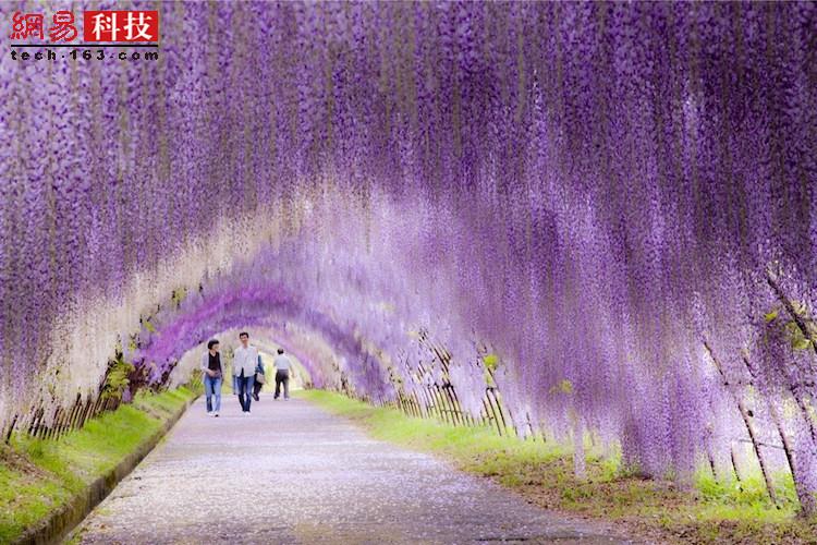 日本的河内藤园。