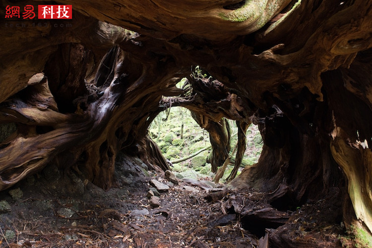 日本屋久岛的隧道树。