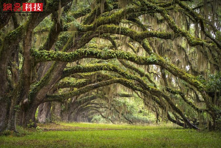 世界的另一端,又是一番其它景象。在美国南卡罗来纳州的查尔斯顿,槲树的枝干在半空中弯曲,直至接触地面,形成了一道道森绿的大拱门。