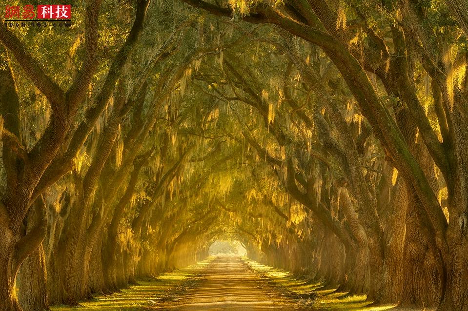 美国路易斯安那州密西西比河沿岸,这条道路沐浴在傍晚的昏黄阳光中,橡树整齐地立在两侧。