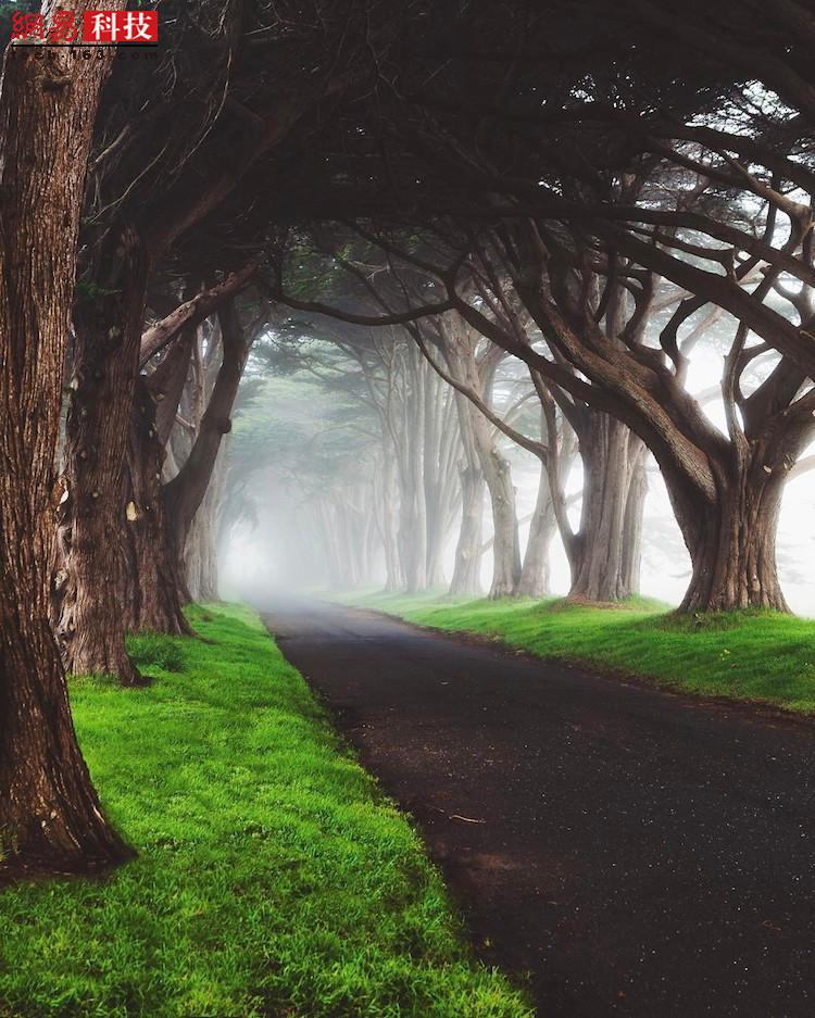 美国加州的柏树道路上,浓雾弥漫,梦幻一般。