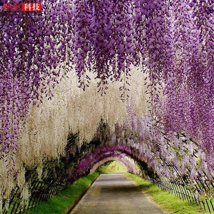 这也是日本河内富士花园的景色。每年4月和5月,这里都会盛开紫藤花,渐变的紫色尤为迷人。