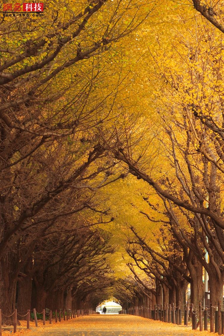 日本东京的银杏树。