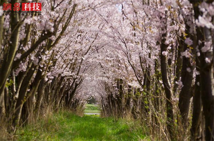樱花小径。