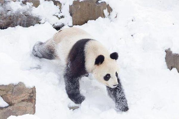 """大熊猫在雪地里玩耍 享受""""戏""""雪的快乐"""