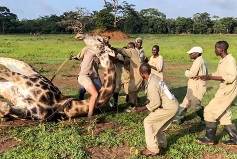刚果金救援者解开绕线释放长颈鹿脖子