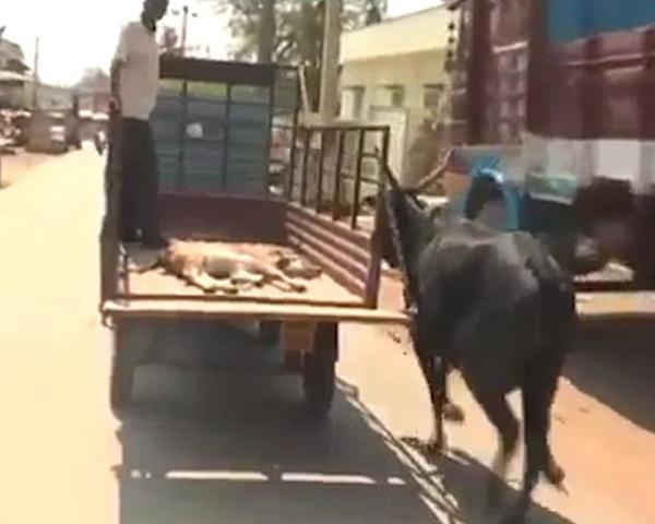 执着的母爱!小牛受伤送医母牛紧追汽车不离不弃