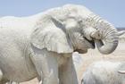 非洲大象为防晒泥水护身