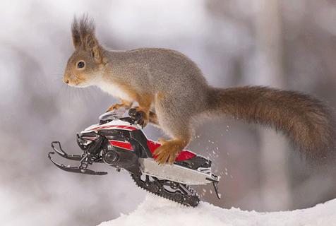 松鼠也疯狂!踩滑雪板骑摩托雪橇大显身手