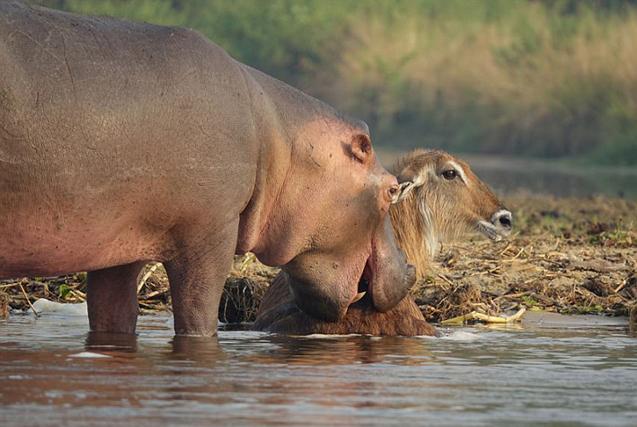 乌干达河马与鳄鱼生死较量 勇助水羚脱险