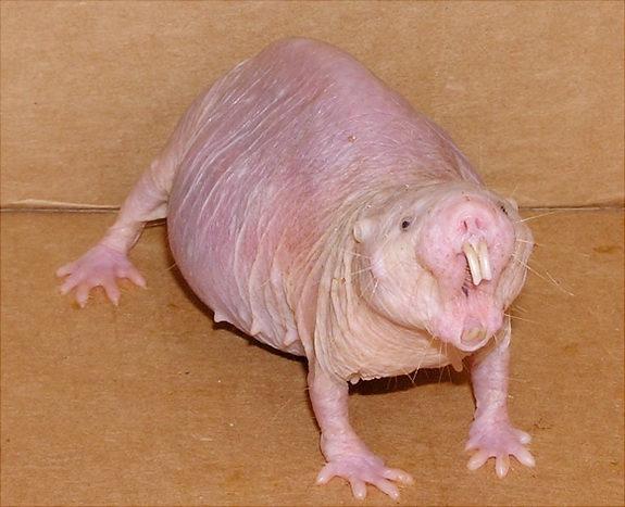 不会衰老 裸鼹鼠无视衰老的生物学规律