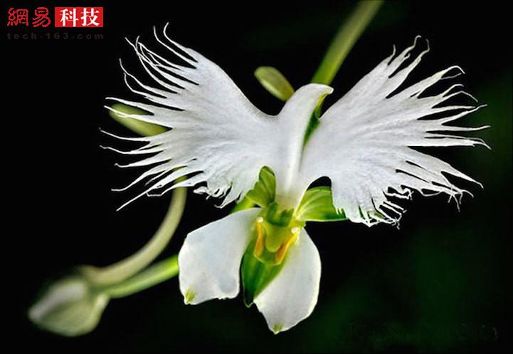 数千年来,花和植物为了继续吸引传粉者不得不进行进化。它们令人震惊的适应性已经为它们带来了无数与众不同的尺寸、形状、色彩、模式和气味的变化。一些花草甚至与其它生物有着惊人的相似性,而且具备了各种不同的动物、物体甚至是人类特征。这一系列的植物照片也代表着大自然永无止境的创意。接下来你会看到千奇百怪的花朵形状,比如说猴脸、快乐的外星人、圆润的红唇和白鸽等等,这些植物都生活在我们身边并且模拟着周围的环境。这张照片中的白鹭兰就像一只在空中翱翔的飞鸟。