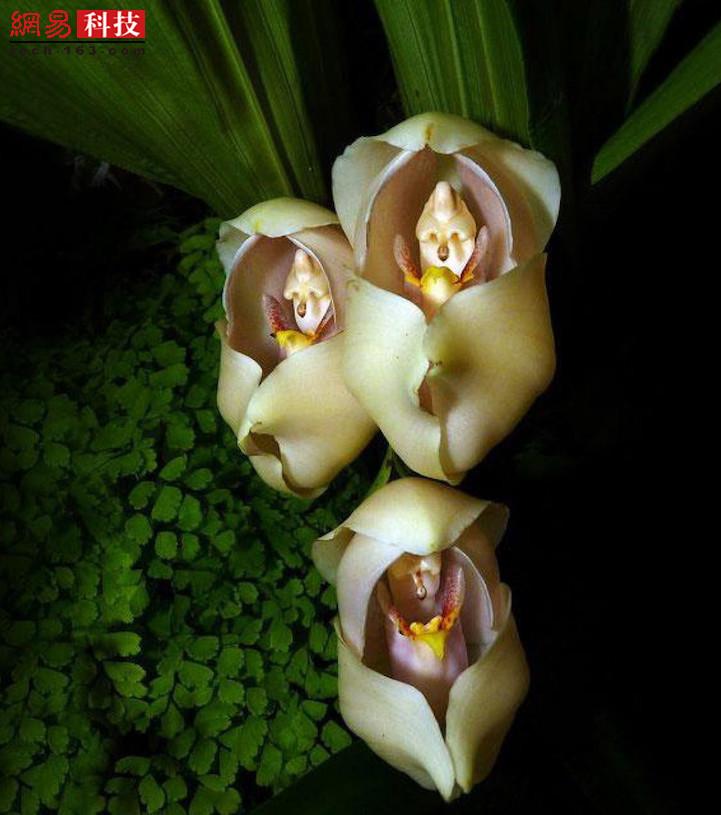 这种兰花(安古兰)酷似一个被襁褓包裹的小婴儿。