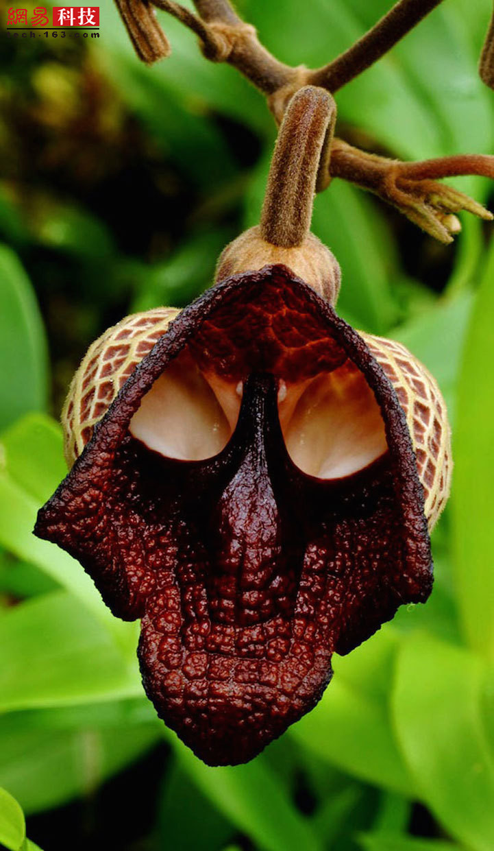 这种马兜铃植物的花朵看起来非常像黑武士的面具。