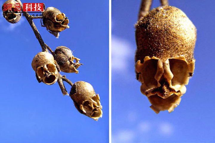 """如果你需要一个头骨进行装饰的话,没有什么比金鱼草的种子荚更适合了。尽管金鱼草的花朵在盛开时相当美丽,但是它们的""""出身""""有点令人毛骨悚然。"""